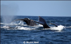Whale tail - 3 humpbacks cruzing at Sodwana whilst en rou... by Bryan Hart 